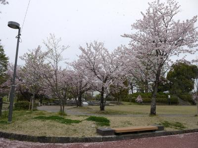 八女公園の桜④