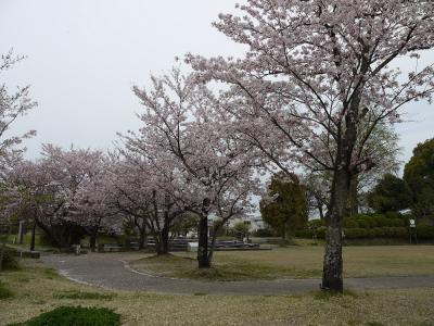 八女公園の桜③