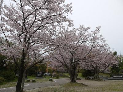 八女公園の桜②