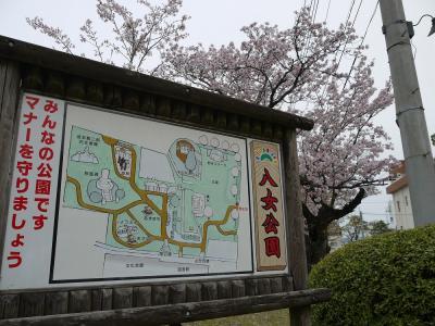 八女公園の桜①