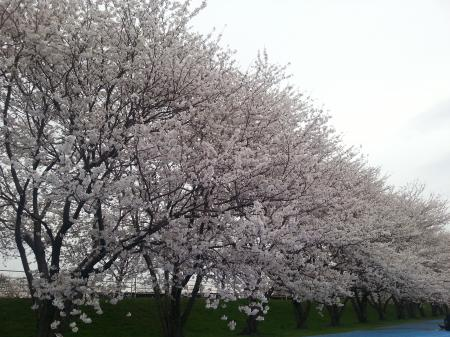 犀川桜整列(サイズ変更)