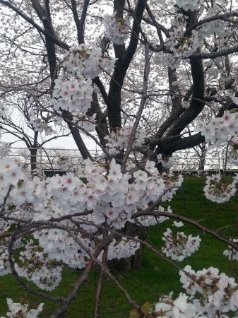 犀川桜アップ(サイズ変更)