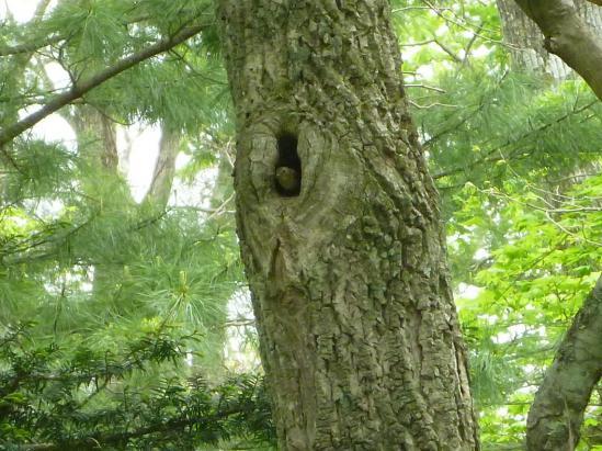 キビタキの樹洞