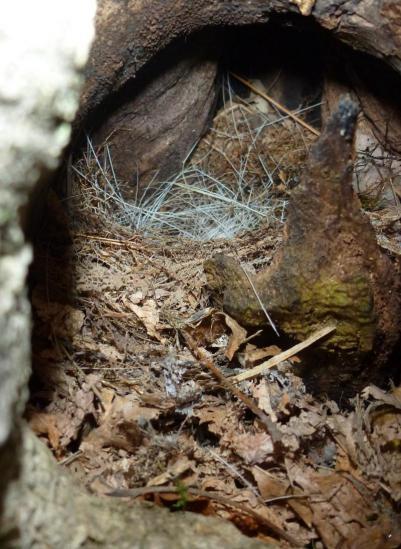 キビタキの巣