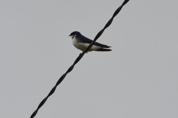 chilean swallow