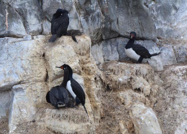 rock cormorant