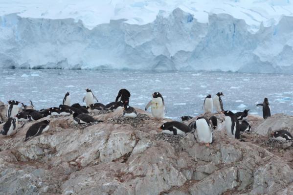 ジェンツーペンギンのコロニー