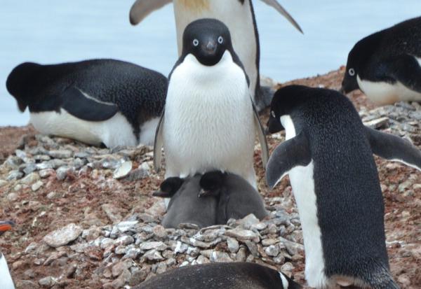 アデリーペンギンの親子