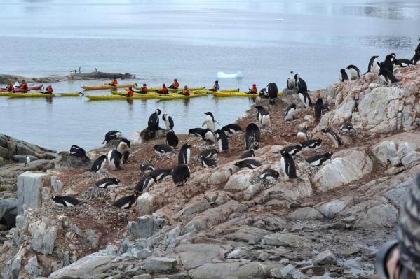 アデリーペンギンのコロニー
