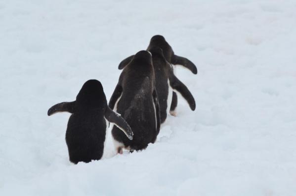 ジェンツーペンギンとアデリーペンギン