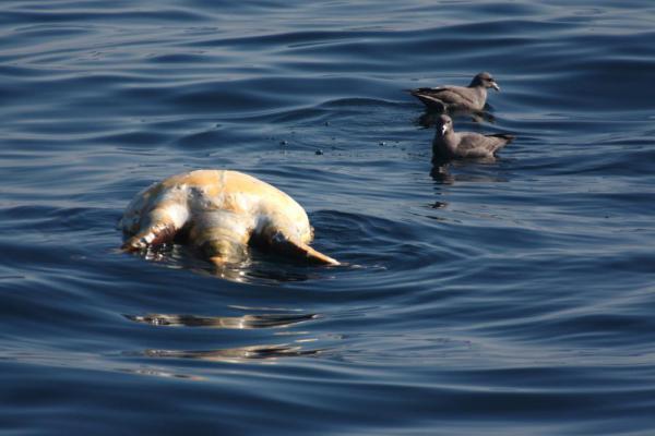 ウミガメの死体とフルマカモメ