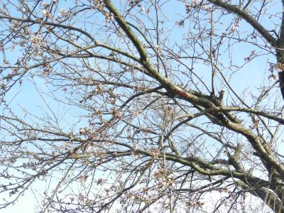 sakura_convert_20130402111543.jpg