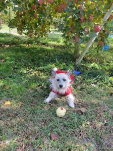 2012 11月りんご狩り 003