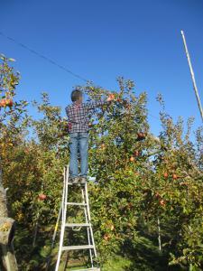 2012 11月りんご狩り 027