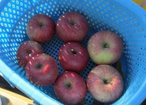 2012 11月りんご狩り 029