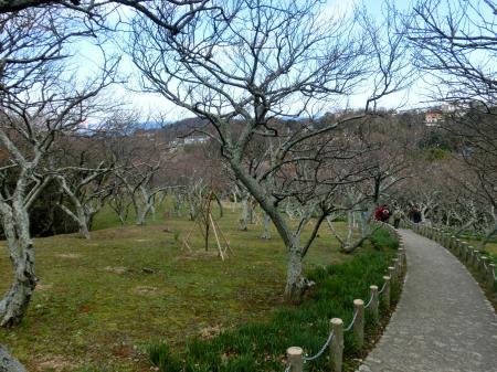田浦の梅園1