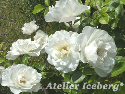 rose2012_01.jpg