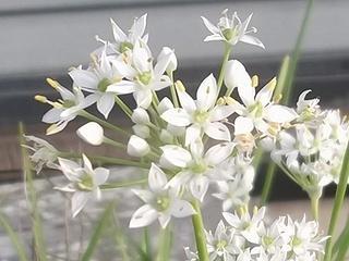 花にら01