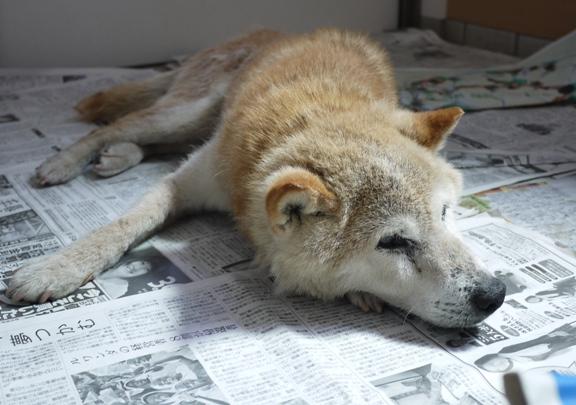 こんな寝方出来るって、(老犬にしては)意外と体が柔らかいのね、いっちゃん。まだ若いのかしら?