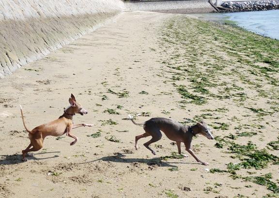 普段グータラなトトも、砂浜だとよく走ります。