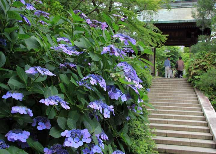 12ajisaiTF_09.jpg