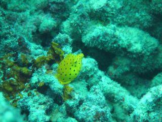 20120613ミナミハコフグ幼魚