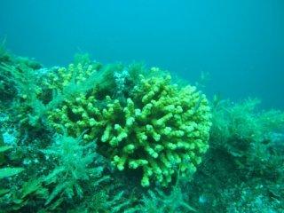20120726日本海にエダサンゴ