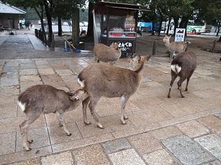 20121222東大寺鹿親子