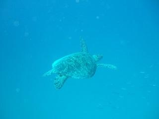 20130703宮古島アオウミガメ