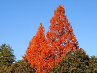 20131203三木山森林紅葉1本