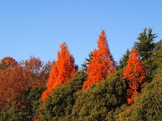 20131203三木山森林紅葉3本