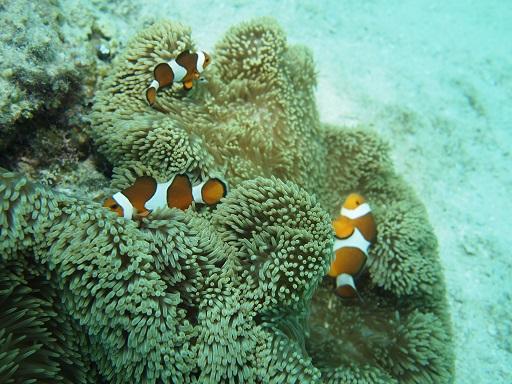 201308サンゴ類 サンゴイソギンチャク