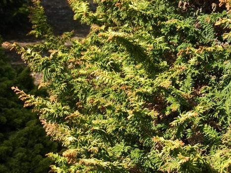 「クジャクヒバ ~特徴のある葉色のヒノキ」