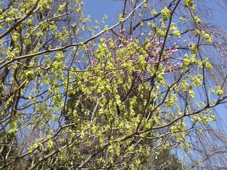 「トサミズキ ~数輪の垂れる黄花」