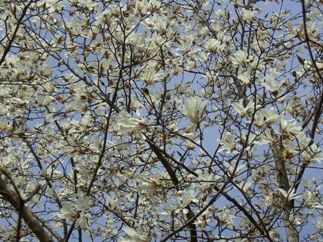 「コブシの白い花」