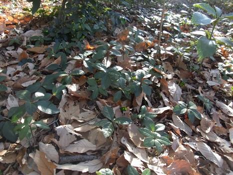 「ヤブコウジ ~林床の小さな樹・赤い実」