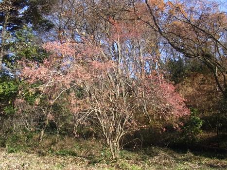 「マユミ ~4裂する紅桃色の果実(1)」