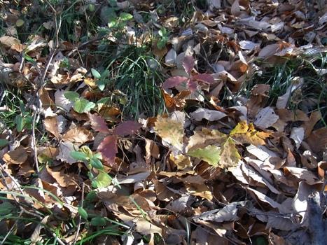 きれぎれの風彩 131229-17「コナラ?幼芽」