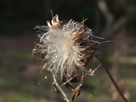 「トネアザミ~冠毛・枯立」