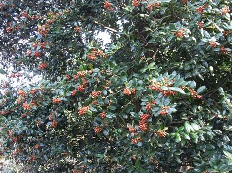 「ヒイラギモチ ~たわわな赤い果実」