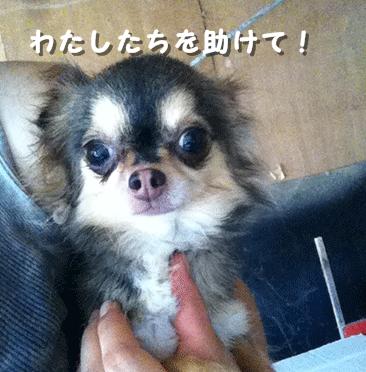 福島保護犬拡散
