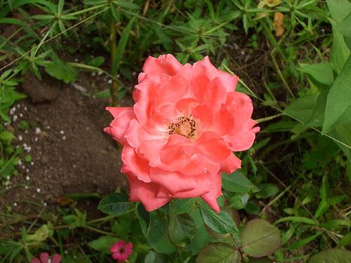 80529556_652d89191e  old rose