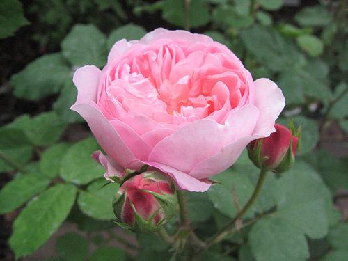 261763875_bfc62d50e8 old roze2