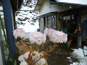 頑張る菊の花