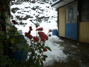 頑張るバラの花