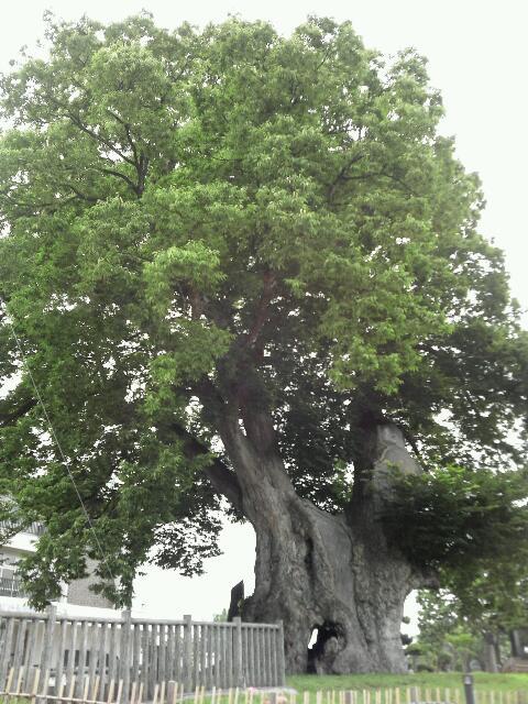 けやきの木