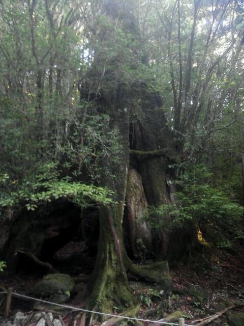 縄文杉登山 杉