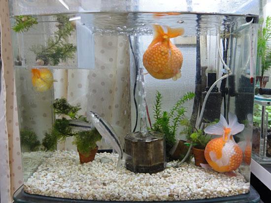 金魚水槽20121218