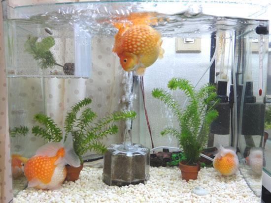 金魚水槽20121227