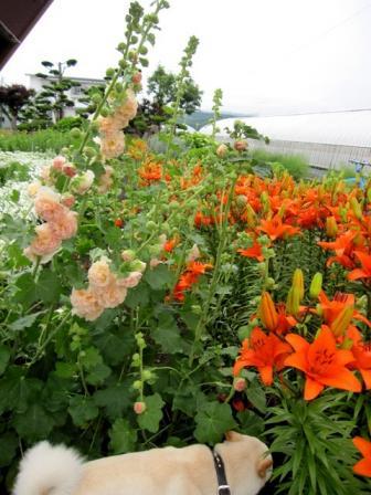 観賞用花畑